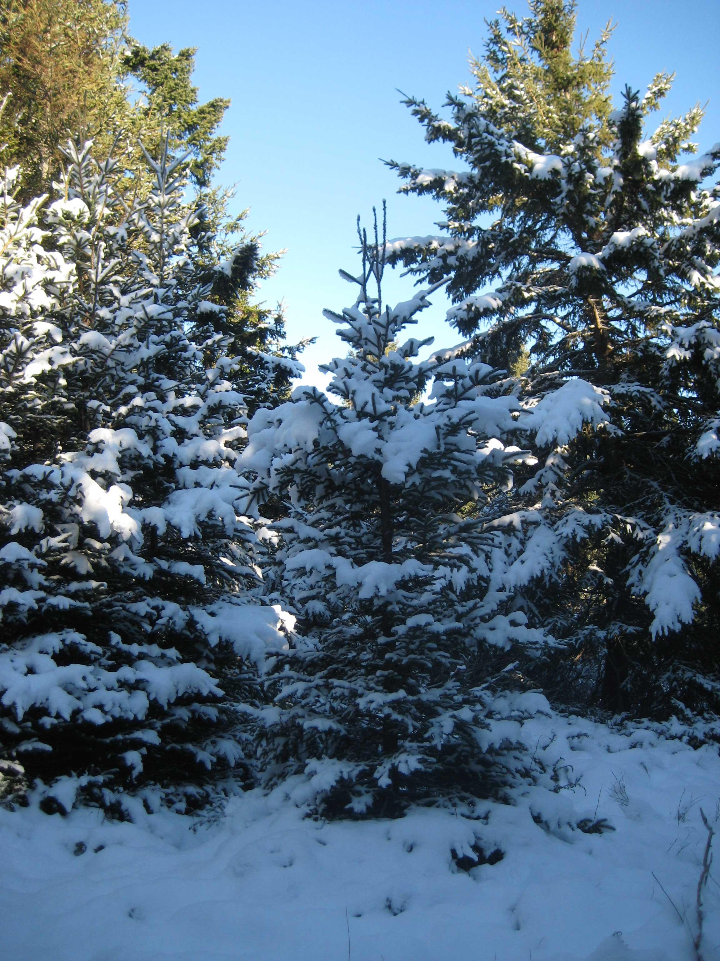spruce tree snow - photo #6